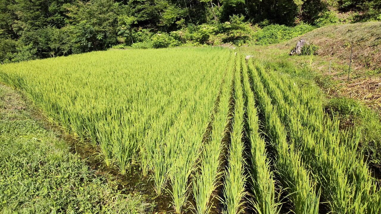 Three months after rice planting